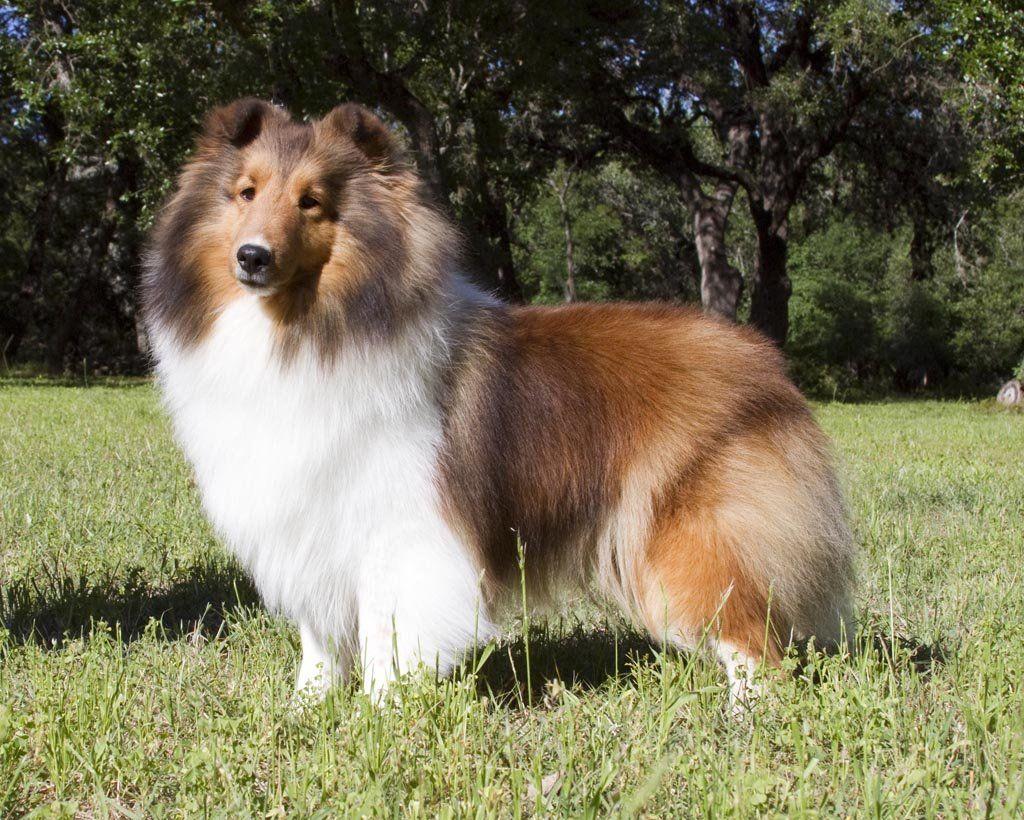 Lockehill Shelties Sheltie Breeder Of Showdogs Companion