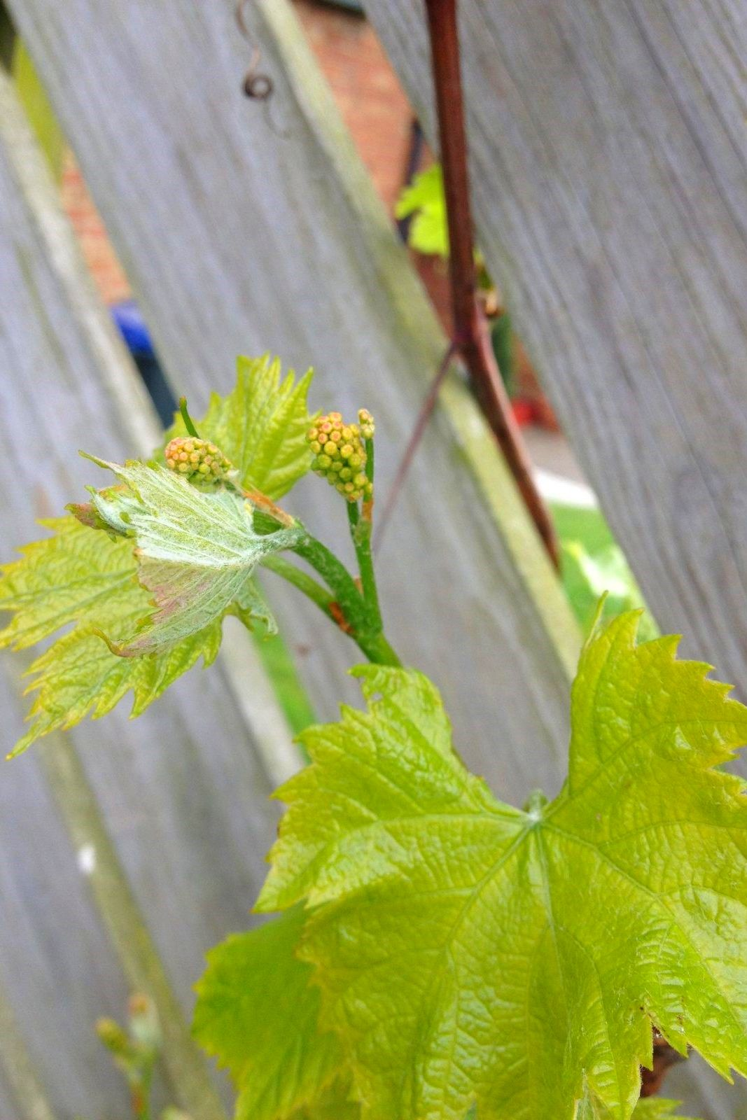 Grow grapes in your backyard and tips for growing grapes