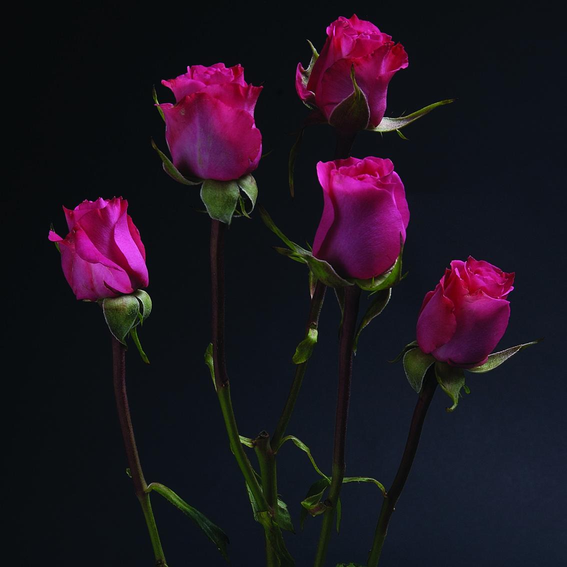 Twinkle Bride #RosesColombia #RedilRoses #ColombianFlowers #Roses #BlomFlores #Regalos