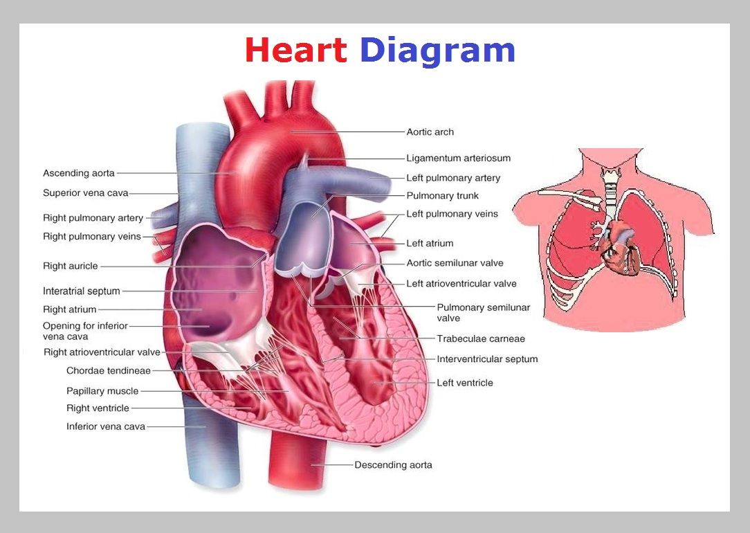 Heart Chart Diagram Anatomy And On Pinterest Diagrams Rh Com Fill In Flow Diag