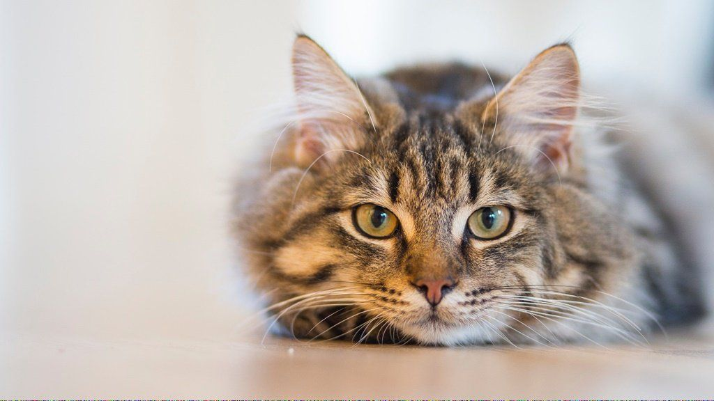 Pin on Cats Vaccines