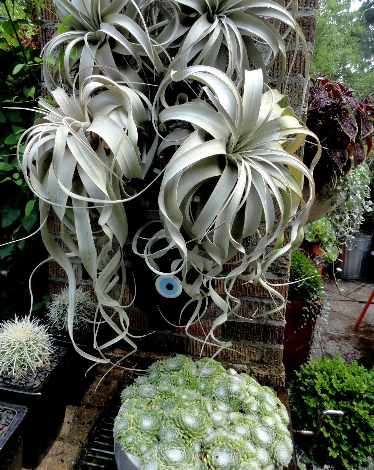 Tillandsia Xerographica Plants, Air plants care, Air plants