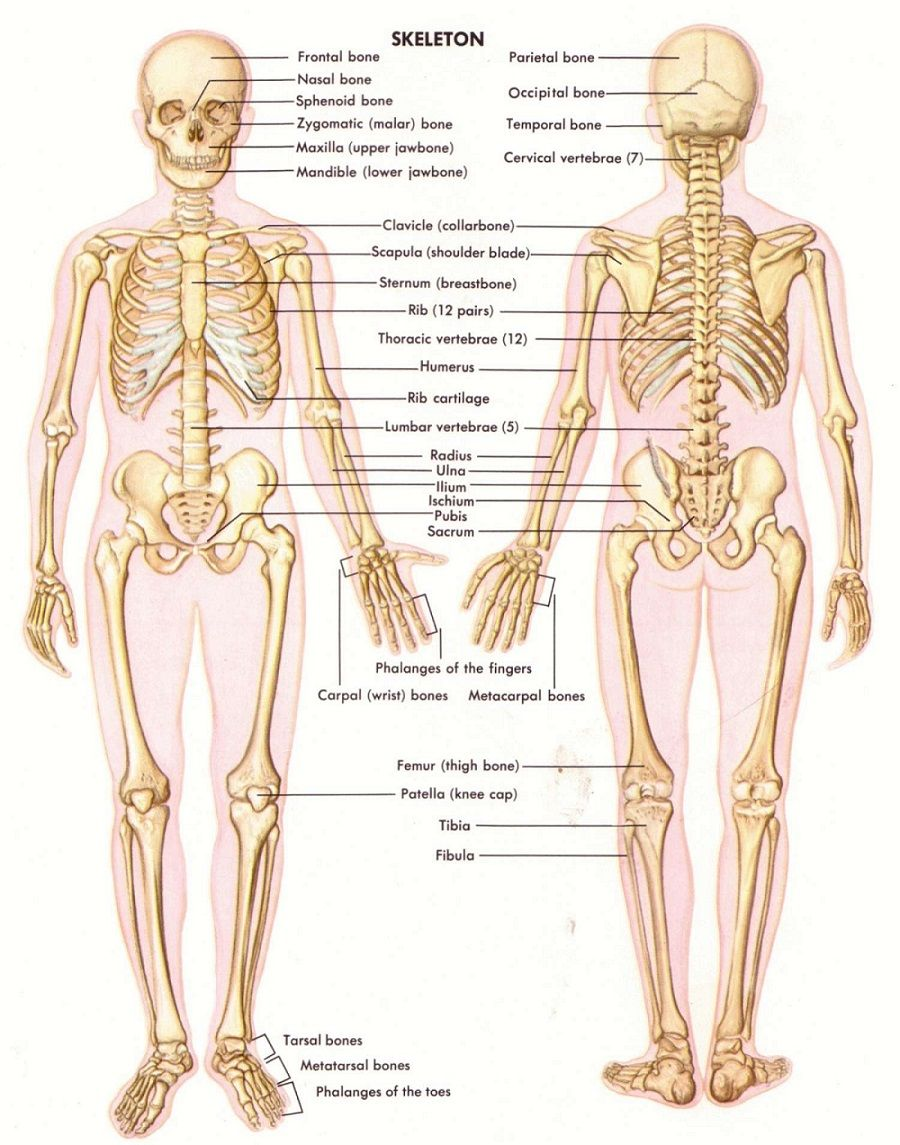 Bones Diagram Human Body Human Anatomy And Physiology The Amazing ...