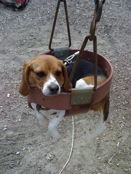 Pin By Eldonna Kent On Why U Houndin Me Beagle Puppy Beagle
