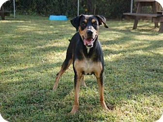 Rottweiler Mix Dog For Adoption In Panama City Florida Betsy Rottweiler Mix Dogs Rottweiler