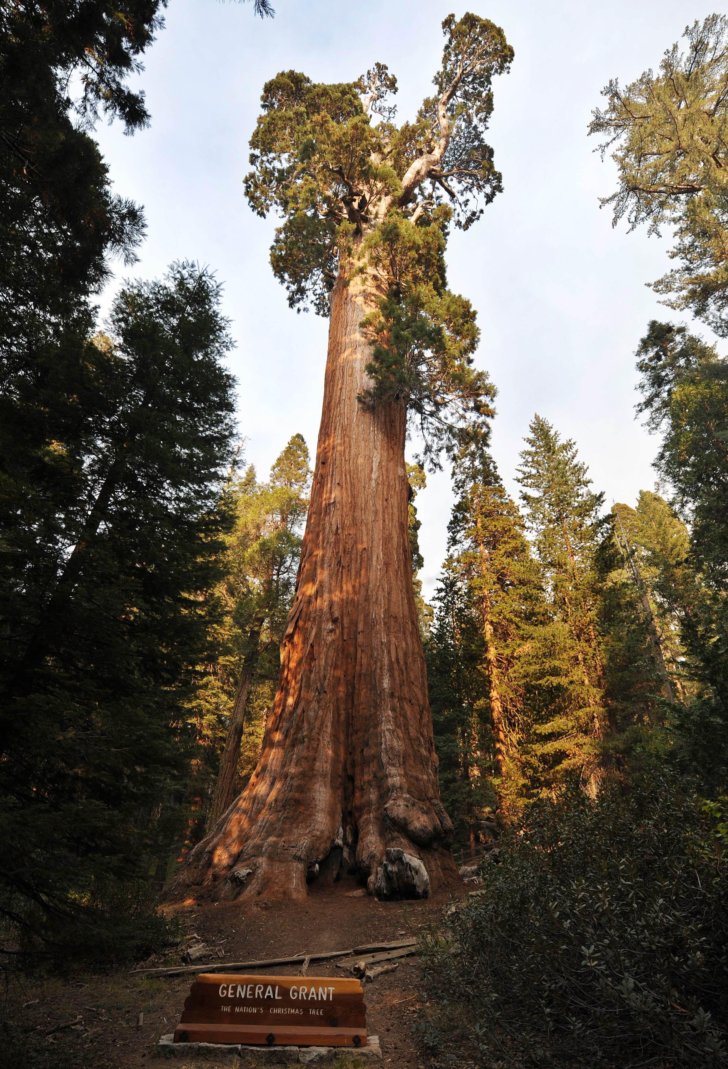 полости дерево генерал шерман картинки тары