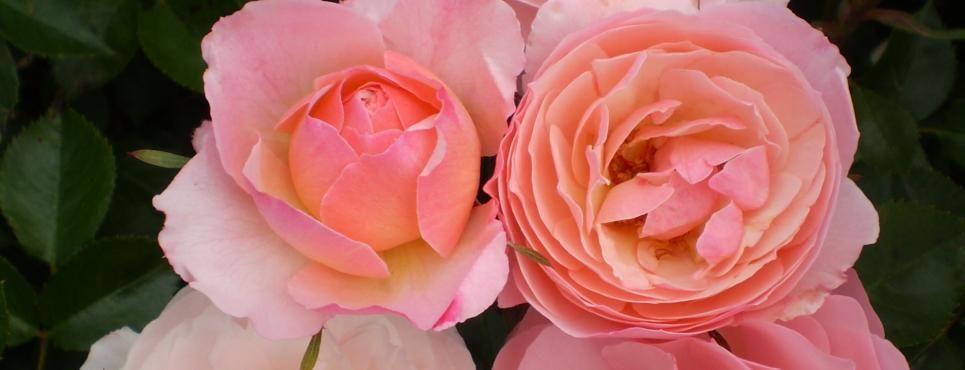 Easy Elegance® Calypso Rose