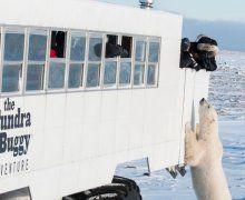 Polar Bear watching, Frontiers North Adventures Manitoba Canada
