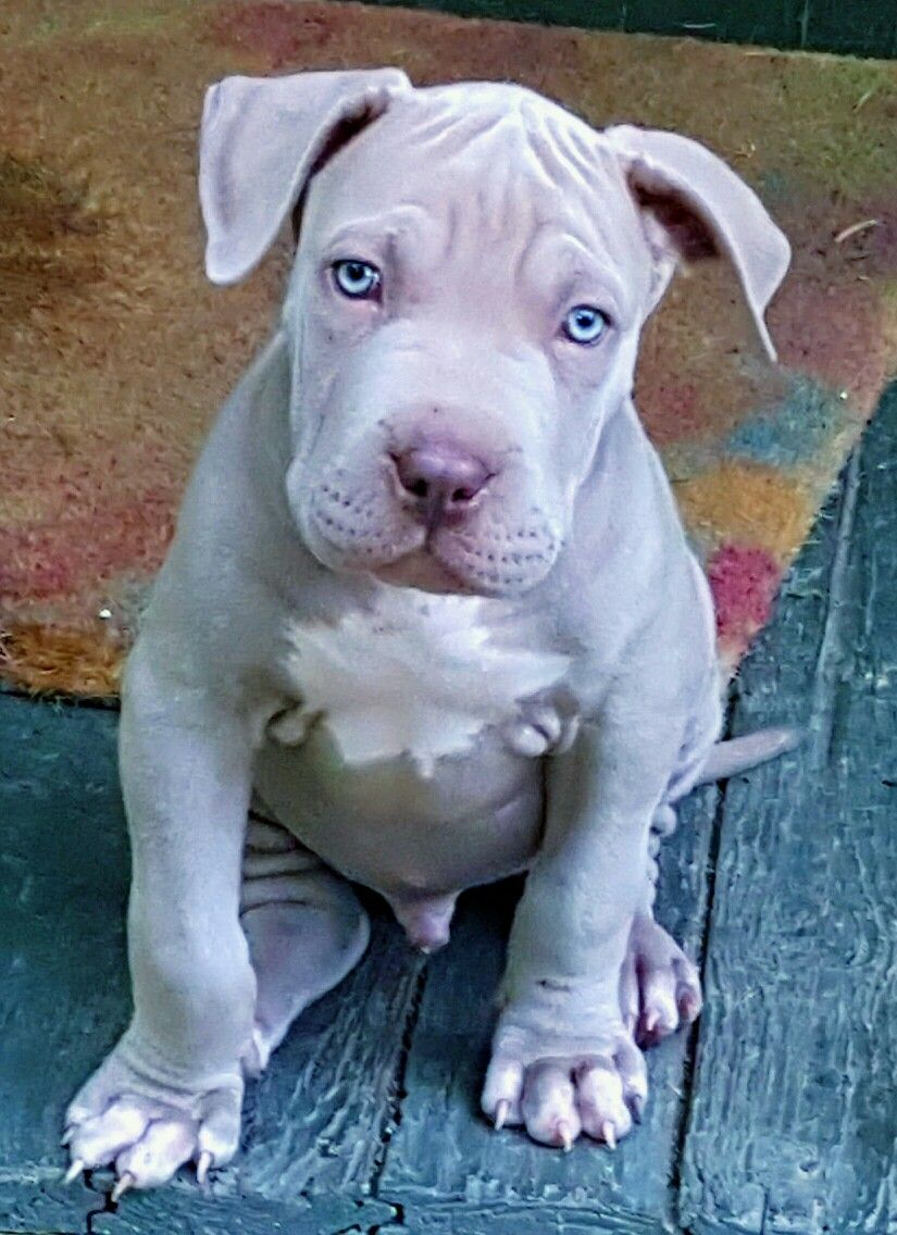 Blue Fawn Pitbull With Images Blue Fawn Pitbull Pitbull Puppies