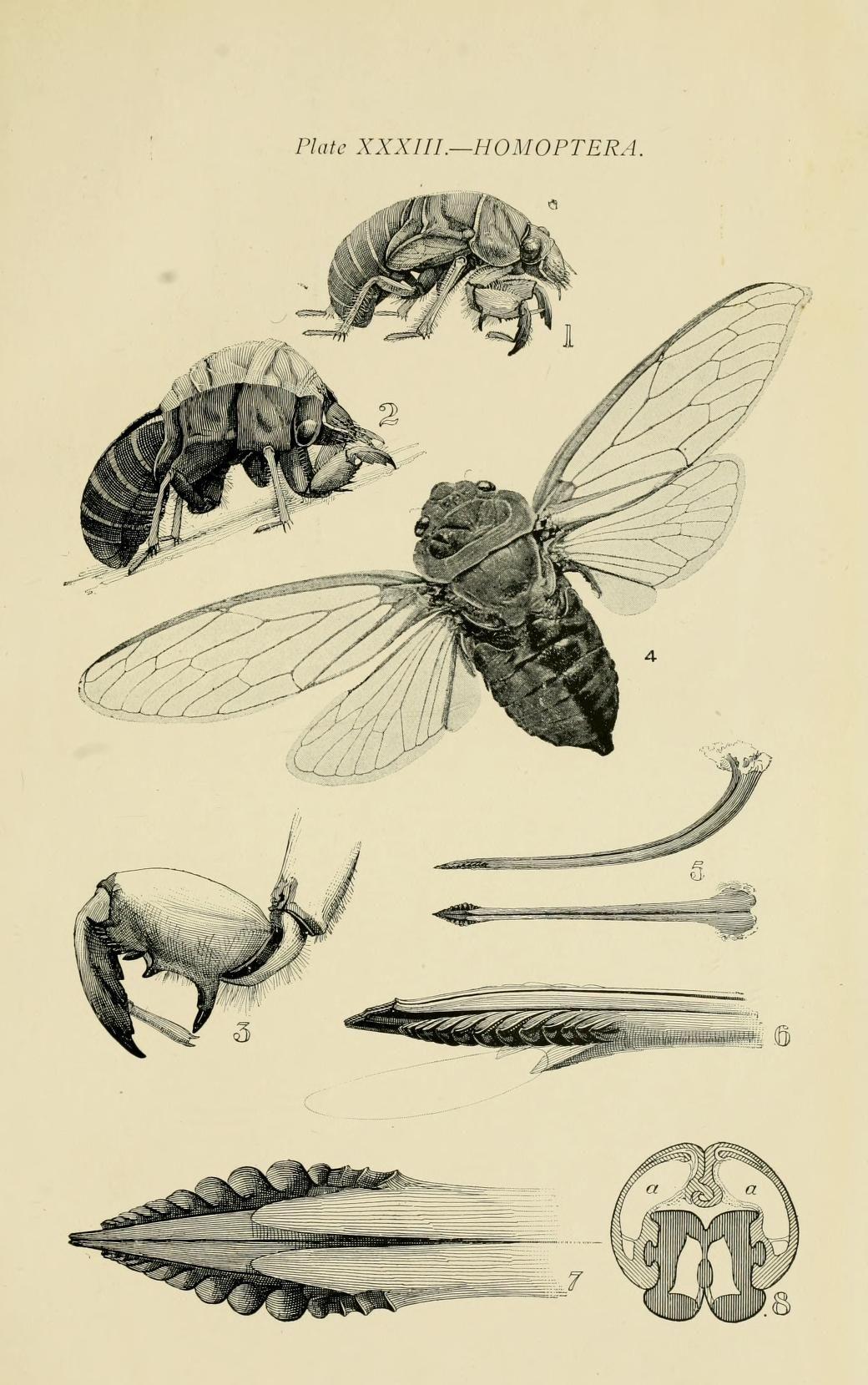 Australian insects. - Biodiversity Heritage Library | Illo ...