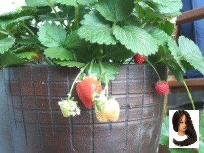 Hängende Erdbeeren – Sorten, pflanzen, Pflege