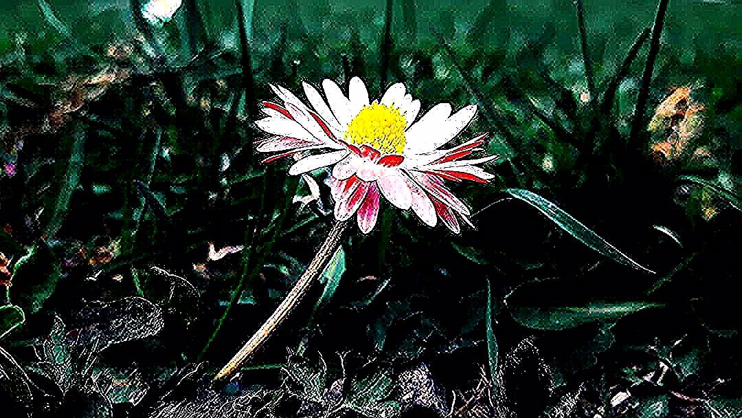 #flower #daisy #stokrotka #kwiat #pink #beautifull #walk #spacer #flowers #flowerstagram  #flower #daisy #stokrotka #kwiat #pink #beautifull #walk #spacer #flowers #flowerstagram #flower_special_ #naturephotography #naturelover #nature #nature_good #naturelovers #beskidmały #beskidy