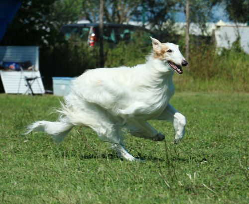 Borzoi in action.  Gorgeous! From sobresaltowhippet on tumblr.  #dogs #dogbreeds