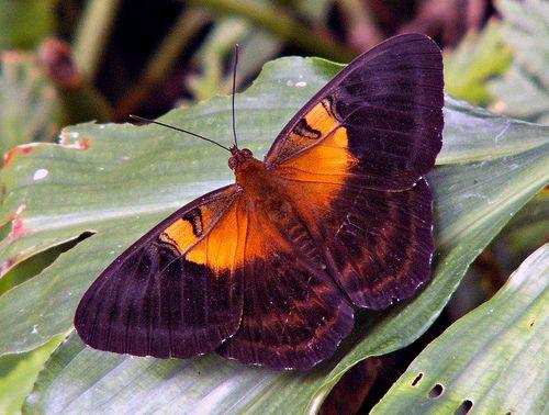 Indonesian Butterfly Jpg 蝶 生き物 押し花