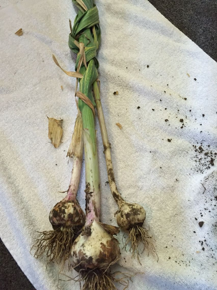 Last Fall I Took Some Grocery Garlic Cloves That Had Sprouted And Planted Them In