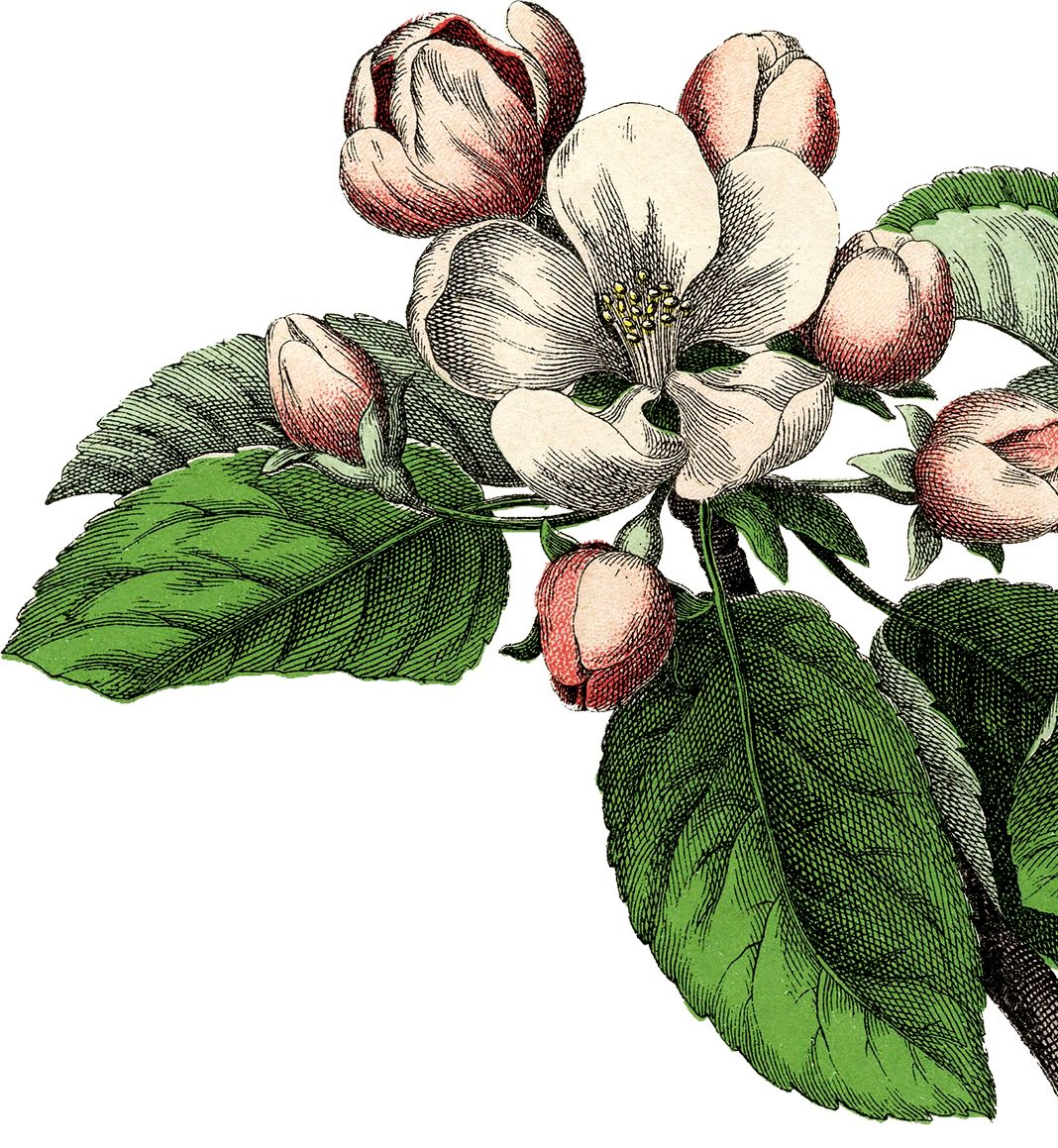 gorgeous vintage apple blossom image apples tattoo and tatting