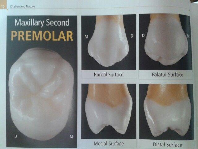 Premolar Dental Advanced Pinterest Dental Dentistry And