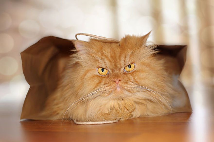Картинки по запросу grumpy persian cat
