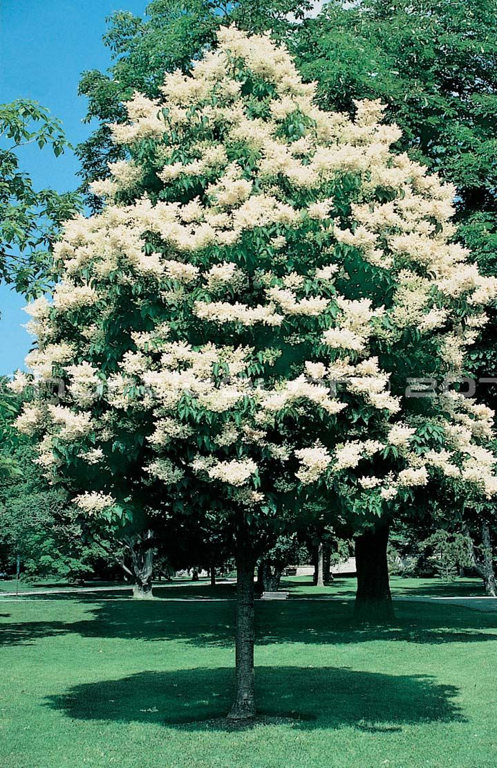 Image result for white lilac tree | Gasper Consulting | Pinterest ...