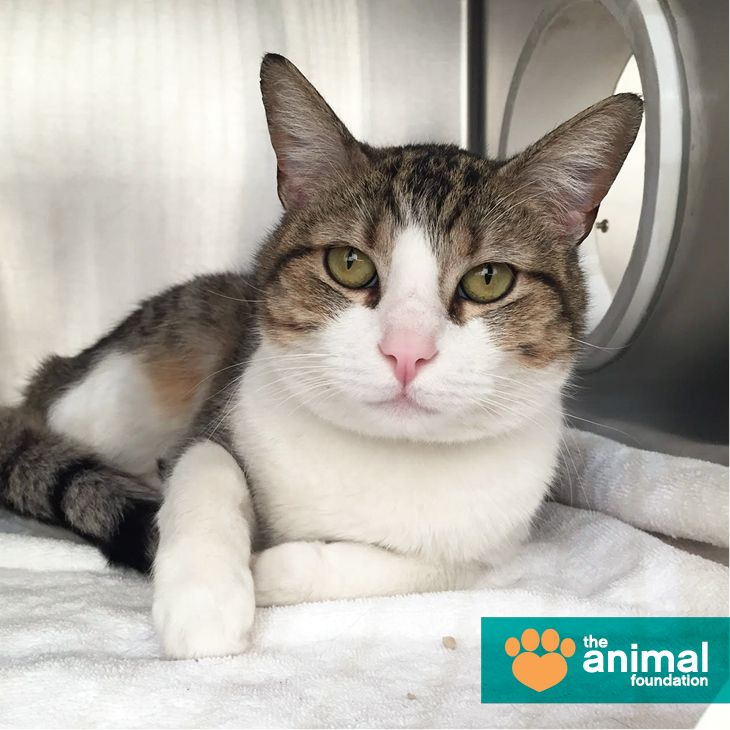 Want to make Speck happy? Spoil him with attention and affection! This sweet, social fella loves being pet and likes to play with you. Let his meowtstanding personality win your heart -- meet Speck today at our Campus Adoption Center!