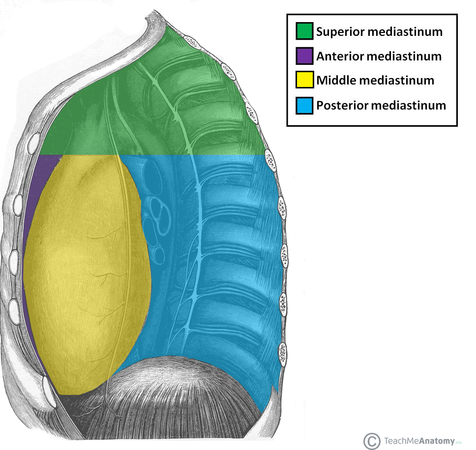 posterior mediastinum - Google Search | GI | Pinterest | Med school
