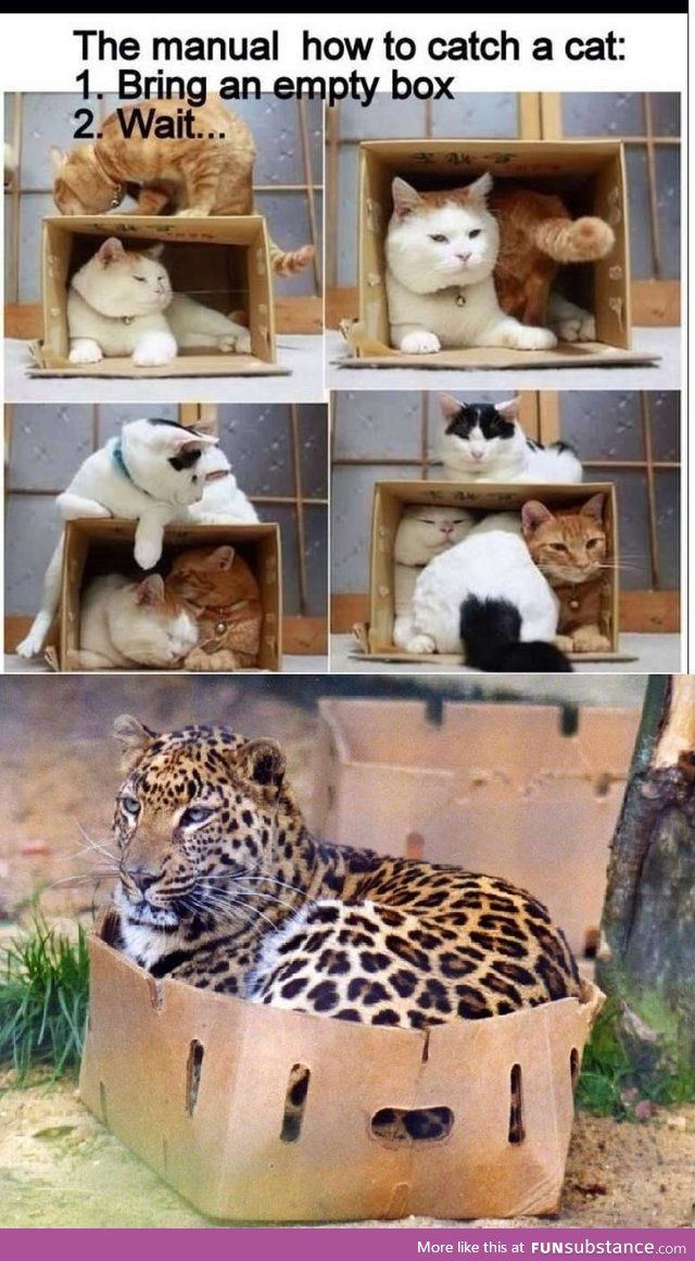 How To Catch A Cat Big Cats In Boxes Puppies Kitties Cats