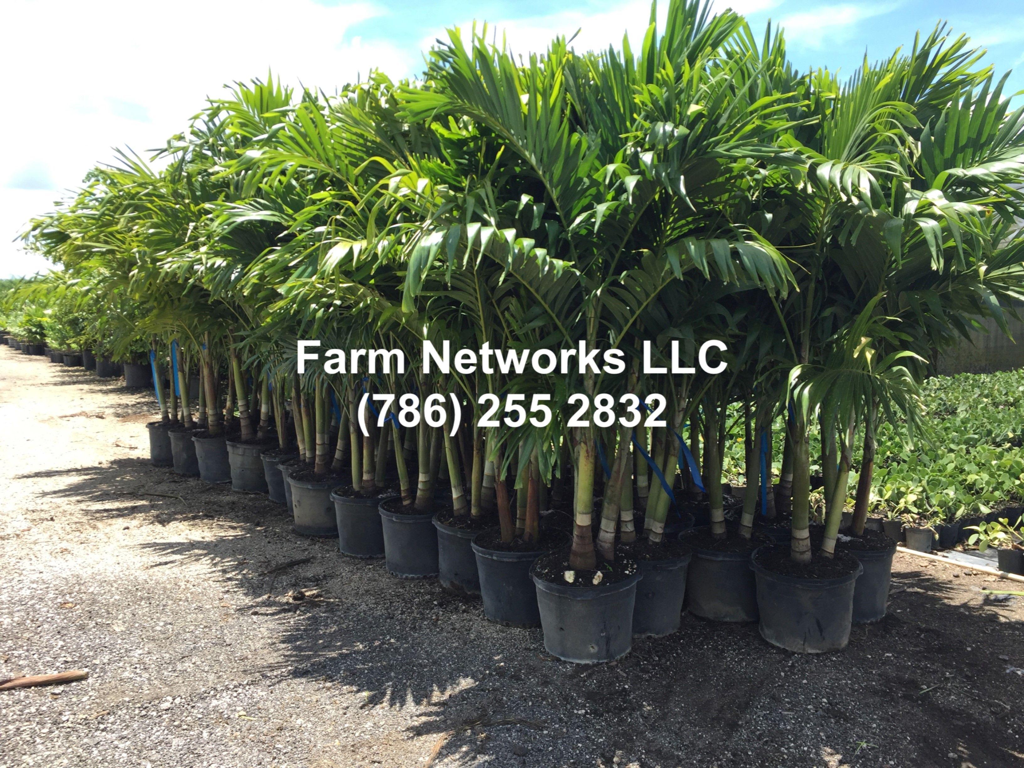 15 Gallon Triple Christmas Palm Florida Palm Trees Florida