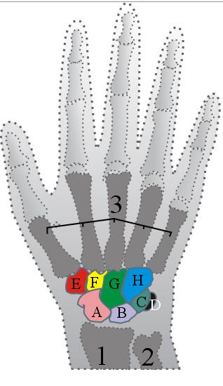 Carpal Wrist Bones   Anatomy   Pinterest   Website, Anatomy and ...