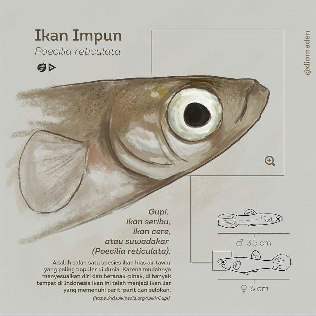 Gupi Merupakan Anggotasukupoecilidae Yang Berukuran Kecil Jantan Dan Betina Dewasa Mudah Dibedakan Baik Dari Ukuran Dan Bentuk Tub Gupi Ikan Pembentukan Tubuh