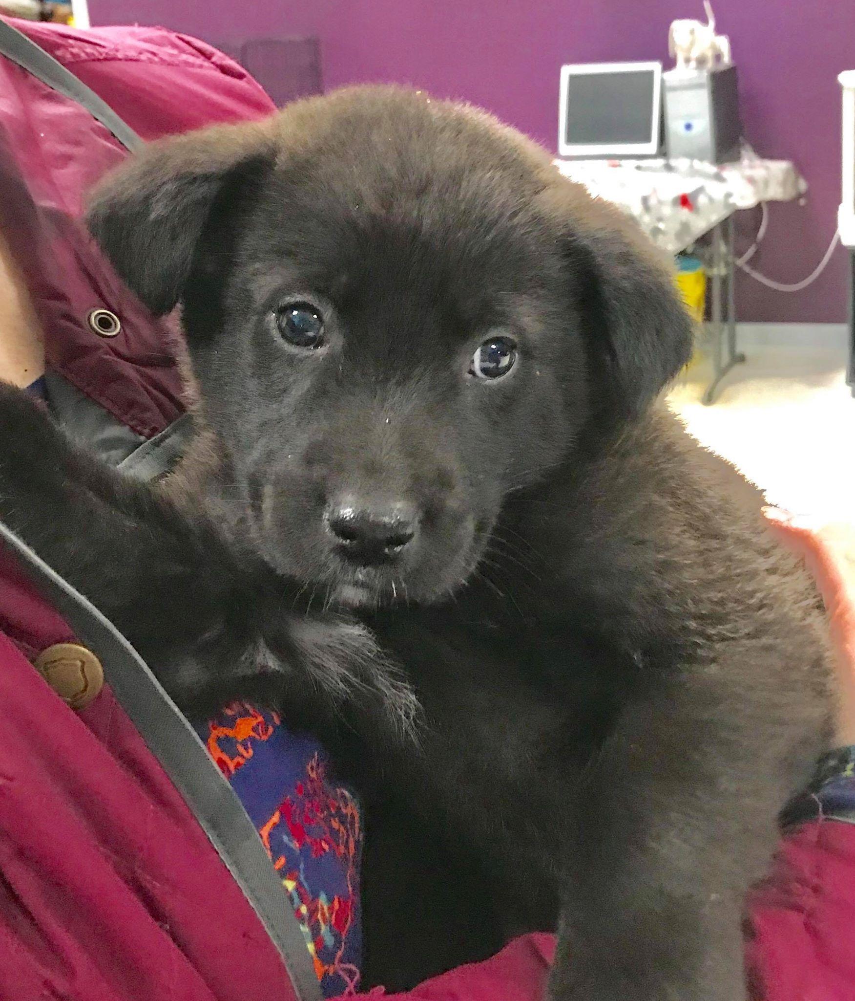 Golden Labrador Dog For Adoption In Maple Grove Mn Adn 822590 On