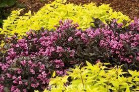 Wine Roses Weigela With Golden Spirea Plants Foundation Planting Landscaping Plants