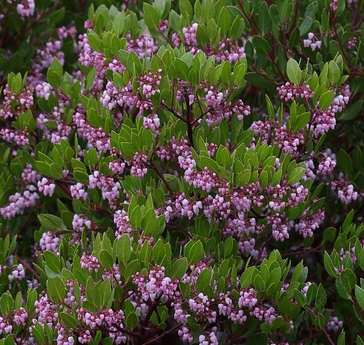 This manzanita has reddish purple bark and pink flowers the this manzanita has reddish purple bark and pink flowers the branches are twisted and lovely mightylinksfo Image collections