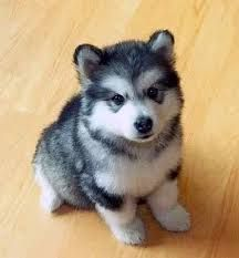 25 Adorable Mixed Breeds Little Husky Pets Animals Beautiful