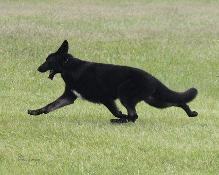 Pin By Karen Hynek On German Shepherds German Shepherd Dogs Red German Shepherd German Shepherd
