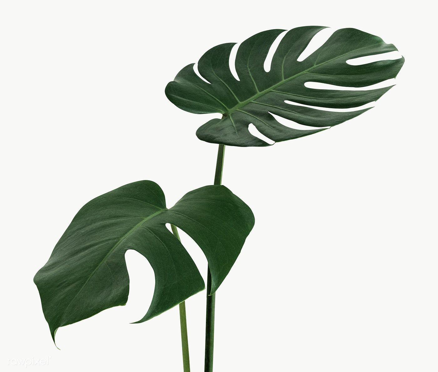 Split Leaf Philodendron Monstera Plant Element Transparent Png Free Image By Rawpixel Com Teddy Rawpixel Plants Monstera Plant Leaves