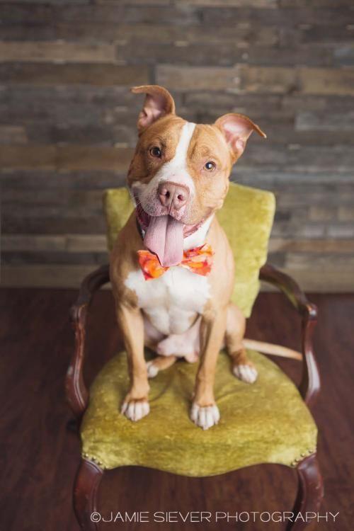 Adopt Mason On Pitbull Terrier Bull Terrier Mix Bull Terrier Dog
