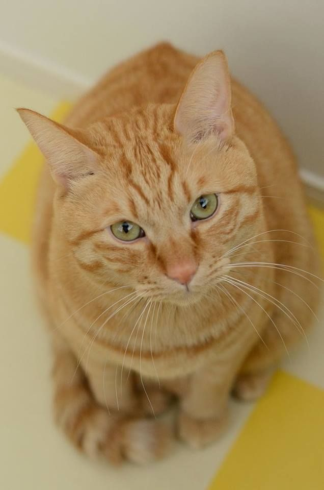 Pin on Orange Cats & Kittens