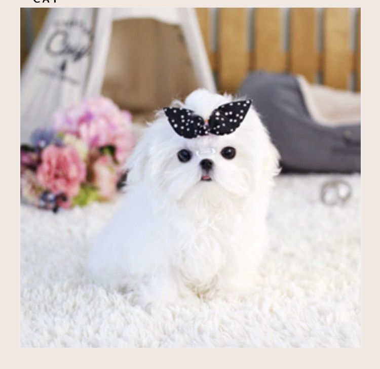 Litter Of 2 Maltese Puppies For Sale In Glendale Ca Adn 72060 On Puppyfinder Com Gender Male S And Maltese Puppy Maltese Puppies For Sale Puppies For Sale