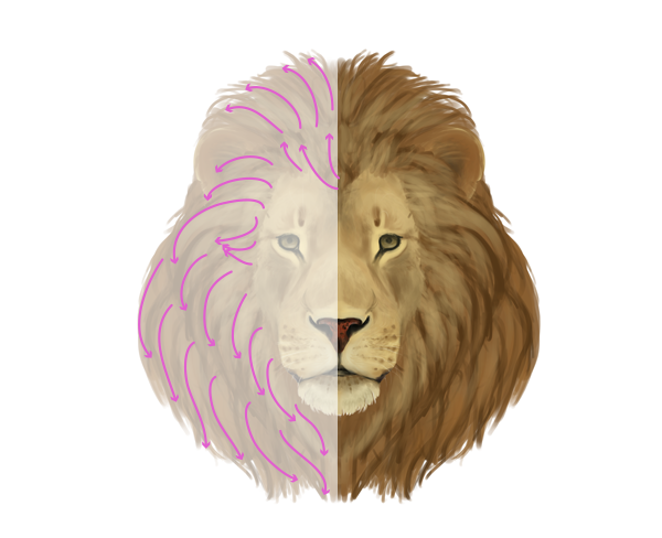 drawingbigcats_2-8_lion_mane_front.png (600×488)