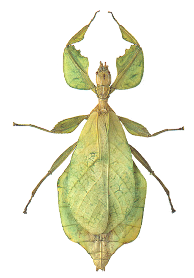 Phylliidae Phyllium Celebicum Arthropoda Insecta Phasmatodea Pinterest