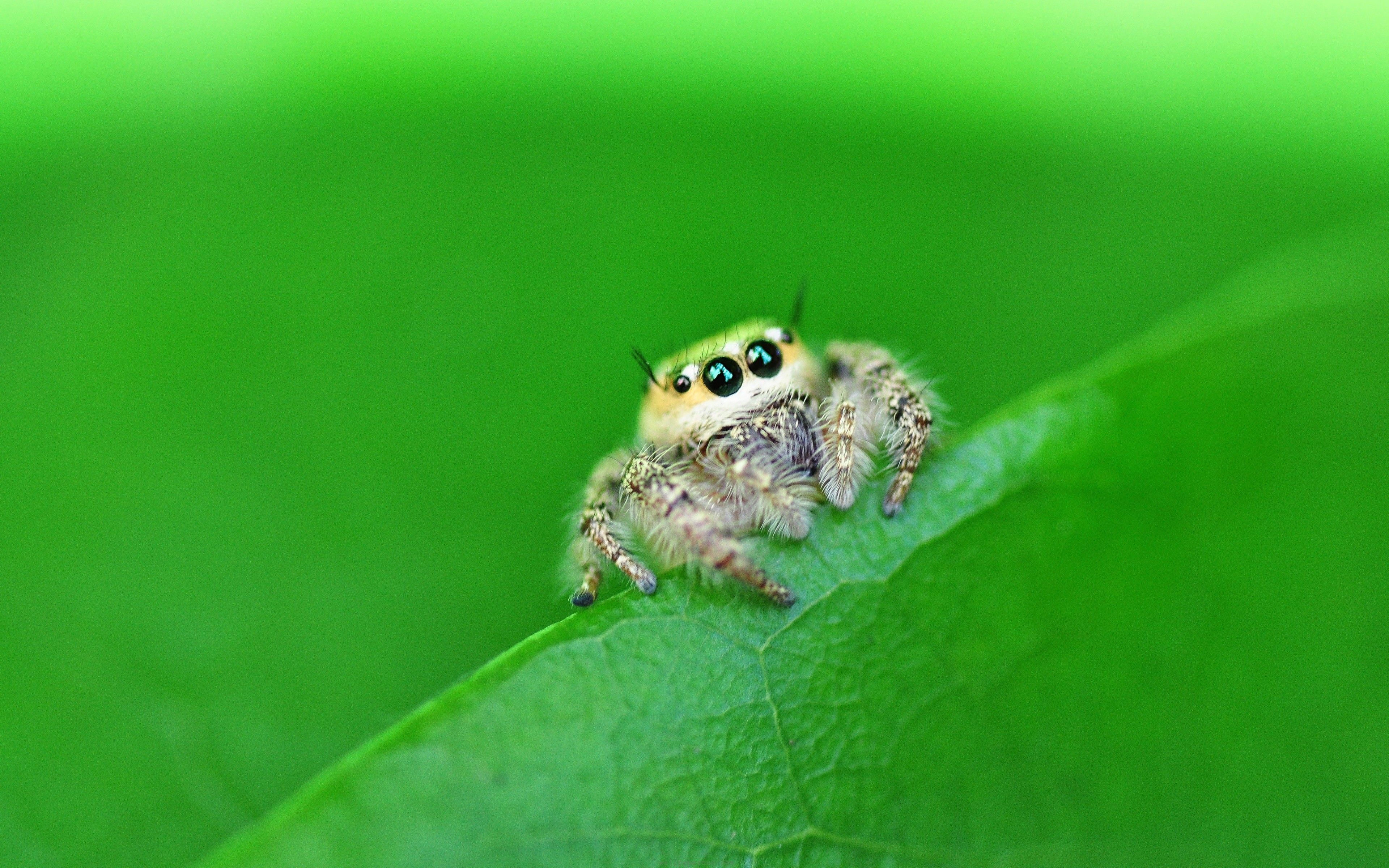 Cute Jumping Spider Wallpaper Close Up Nature Insects Photography Macro Spiders Jumping