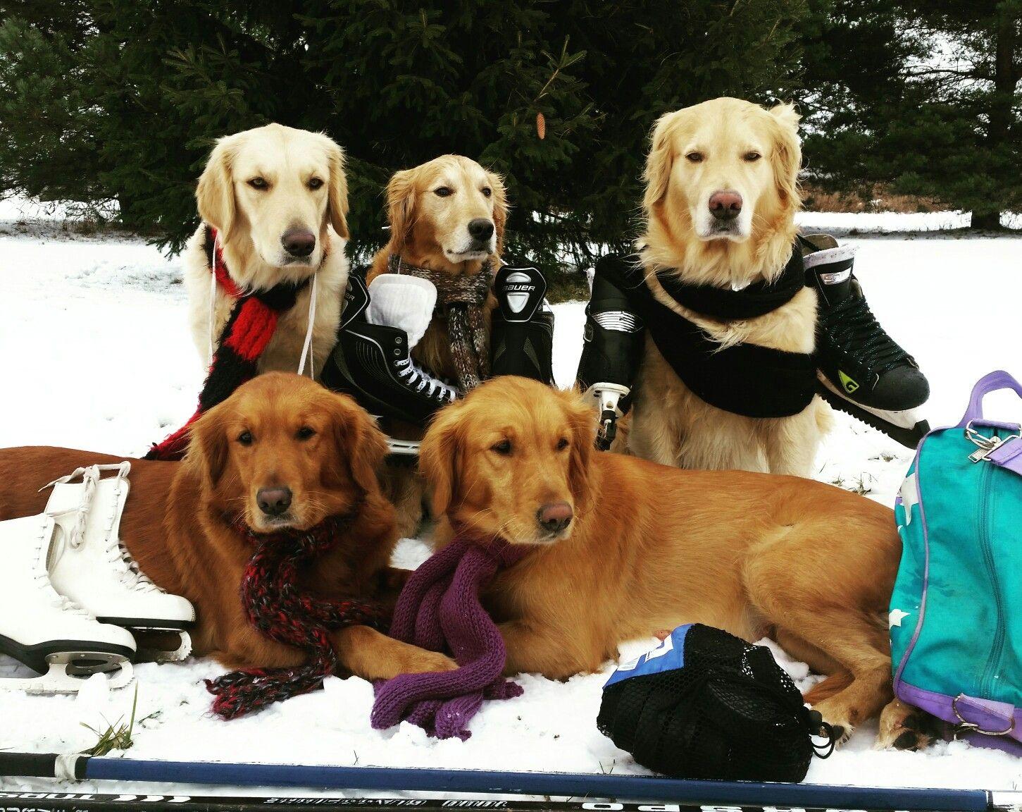 Lets Go Ice Skating (Golden Retriever) | Dogs | Pinterest | Dog ...