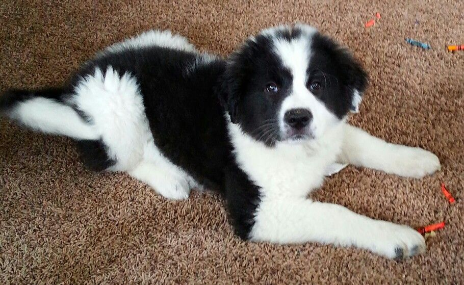 12 Week Old Border Pyrenees Animals Border Collie Collie