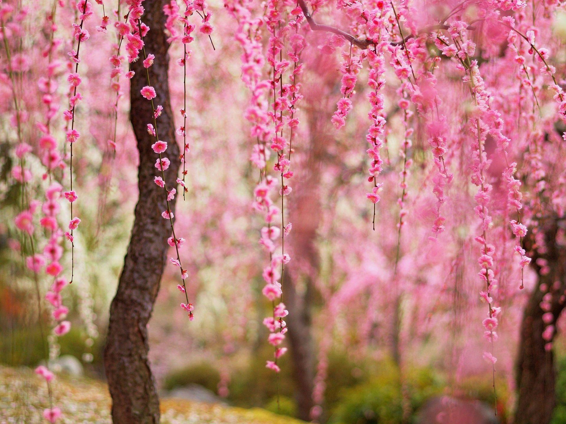 Belle printemps fleurs rose fleurs arbres fonds d 39 cran for Fond ecran ete fleurs