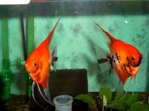 Pterophyllum scalare skalar red devil skalare co for Skalar aquarium