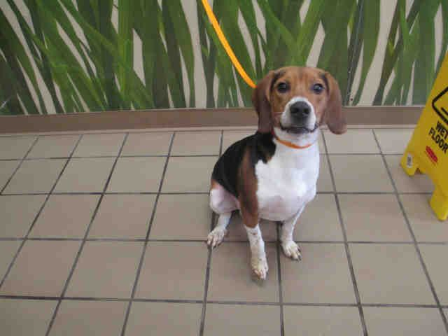 Florida Legolas Id A115400 Is A Neutered 1yo Tricolor Beagle At