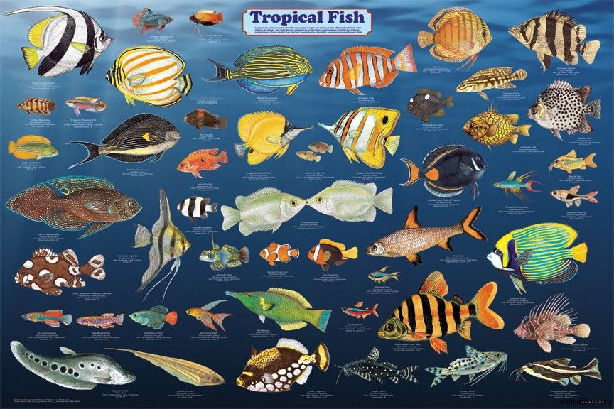 Tropical fish google search cultural celebration for Saltwater fish chart