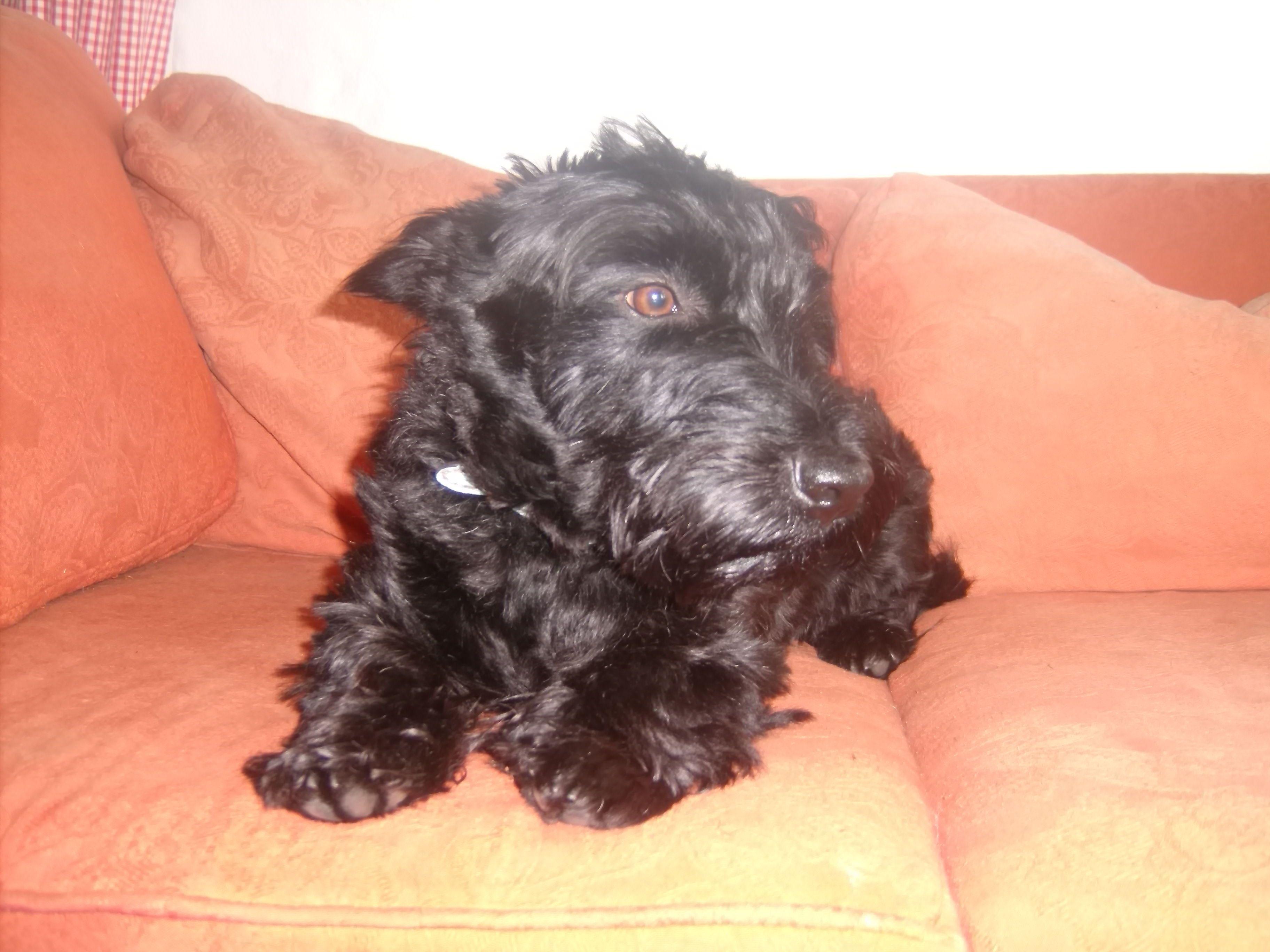 Bailey - Scottish Terrier