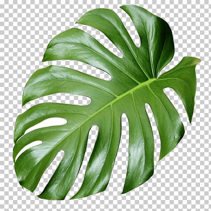Plant Aesthetics Monstera Green Monstera Deliciosa Leaf Png Clipart Green Leaf Background Leaf Background Monstera