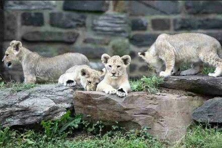 New Lion Cubs